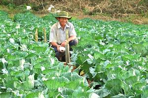 キャベツ畑の農家